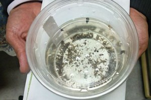 孵化幼虫2014.7.7-c