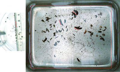 幼虫の大きさの比較4